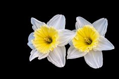 #creative #flower #narcis #nature #spring