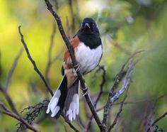 Eastern Towhee (Pipilo erythrophthalmus) Photo by Becky Wylie; Wildcat Glades Conservation & Audubon Center - Joplin, Missouri