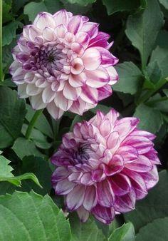 Rainbow Garden, Dahlia Flowers, Flower Photography, Growing Flowers, Dream Garden, Garden Landscaping, Blossoms, Peace And Love, Floral Arrangements