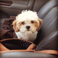 Cute Puppies, Cute Dogs, Dogs And Puppies, Doggies, Shih Tzu Poodle Mix, Shih Poo, V Cute, Crazy Dog Lady, Lhasa Apso