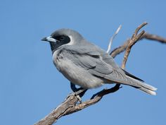 Masked Woodswallow | Flickr - Photo Sharing!