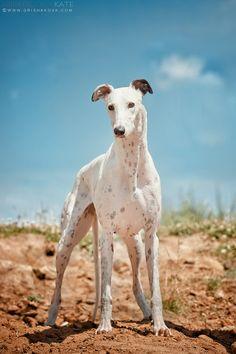 Greyhound. Grishakove Photography.