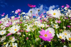 Cosmos flowers in Clarens, South Africa Beautiful Landscape Photography, Beautiful Landscapes, Africa Painting, Beautiful Places, Beautiful Pictures, Cosmos Flowers, My Land, Africa Travel, Great View