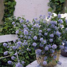 Ceanothus Concha (Californian lilac) Seasonal Garden, Plants, Container Plants, Drought Tolerant Garden, Gorgeous Gardens, Beautiful Flowers, City Garden, Garden Express, Garden Inspiration