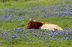 Ennis Bluebonnet Trails – Texas