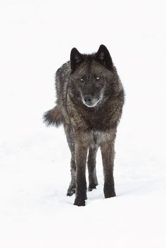 This wolf is a daughter of Yellowstone's most famous wolf (IMO) aka Wolf 302 ~ Legacy by Doug Dance Nature Photography