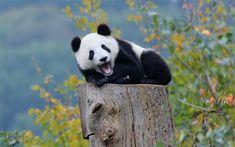 Download wallpapers pandas, tree, cute animals, small panda, zoo, Ailuropoda