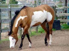 Overo Paint Horses | paint horse overo dunskin - horse-genetique - Skyrock.com