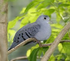 Blue Ground Dove (Claravis pretiosa)