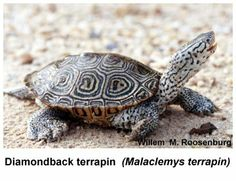 I work with these turtles in collaboration with the Wetlands Institute in Stone Harbor NJ