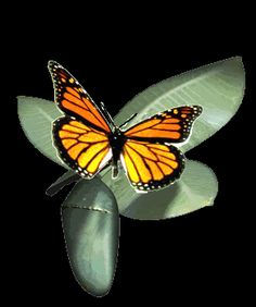 monarch butterfly animation | Animated Butterfly world's most amazing butterfly, flight, color, migration and pollinators important for life.