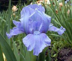 Eramosa Skies Dwarf German Bearded Iris - #1 Size Root