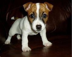 baby munchkin - jack russell puppy