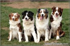 Many colors many sizes - #Aussies #Australian Shepherds