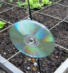 use old cd's and beads on a string to keep out critters
