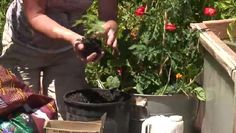Video: How to Grow Tomatoes in 5 Gallon Buckets | eHow