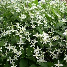 Clematis armandii 'Little white charm' (wintergroen / groenblijvend : tuin / plant / klimplant / klimplanten)