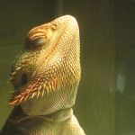 Bearded Dragon Lighting is very IMPORTANT! Educate yourself!