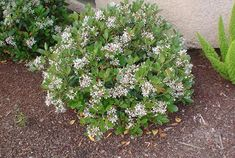 Indian Hawthorne is a great shrub that requires very little pruning to maintain it's round shape. Plus, it flowers and produces berries. Beat that Mr. Boxwood!