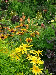 Rudbeckia hirta 'Prairie Sun' and 'Chim Chiminee' with Euphorbia 'Golden Foam' and Kniphofia 'Flamenco' June
