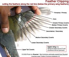 I don't cut my birds' wing feathers but if you need to - Grooming: Wing, Nail & Beak Trimming Cockatiel Toys, Cockatiel Care, Parakeet Care, Budgies, Parrot Wings, Bird Wings, Parrot Pet, Parrot Toys, Wing Anatomy