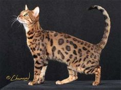 Bengal cats & kittens - The International Bengal Cat Society - TIBCS - exotic looks with spots, marbling and snow