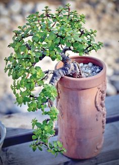 A display of mini or mame bonsai; a jade plant grown in a cascade style.