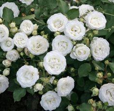 Floribunda Roses, Shrub Roses, Kordes Rosen, Rose Foto, White Plants, Rose Trees, Hybrid Tea Roses, Mini Roses, Summer Memories