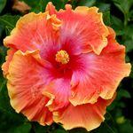 Exotic Hibiscus 'Prosperity'