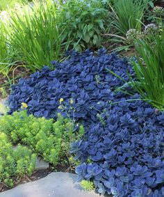 Live 'Blue Pearl' Sunsparkler Sedum Plant-Cottage Farms