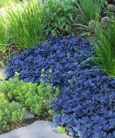 Live 'Blue Pearl' Sunsparkler Sedum Plant-Cottage Farms