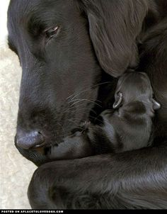 Sweet Black Labrador Retriever mommy cuddling with her new baby. So touching For more cute dogs and puppies #labradorretriever