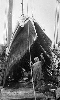 Bowhead Jawbone with Baleen Plates.   This photo, taken in Alaska, shows the jawbone of a bowhead whale with its baleen plates hoisted on board a whaler. The crew member standing in front shows just how large the jaw and baleen are. /artifacts/views/bowhead_baleen.jpg