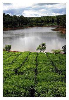 Plantation de théiers à Bois Chéri à l'ile Maurice -- Bois Cheri tea plantation on the island of Mauritius