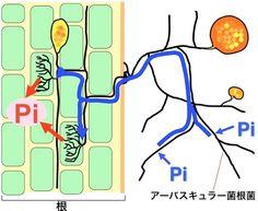 アーバスキュラー菌根菌(あるいはVA菌根菌)と呼ばれる糸状菌の一群 は、土壌中に普遍的に存在し、およそ80%の陸上植物と共生することができる。この菌は植物からエネルギー源(主にブドウ糖)の供給を受ける代わりに、土壌中の希薄なリン酸を集め、宿主植物に供給する。この菌が感染すると、宿主植物の根の中に特徴 的な構造ー樹枝状体 (arbuscule)ーが形成される。