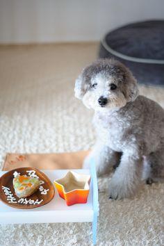 Happy 4th Birthday to HOKU☆ Jun. 19 2016 #toypoodle #silverpoodle