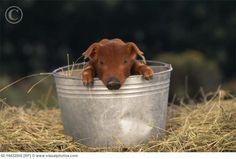 Baby Duroc Piglet