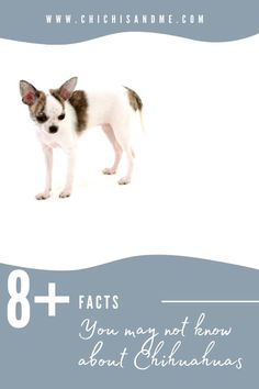 Chihuahuas are the most misunderstood breed there is. Here are 8 things you probably didn't know or were misinformed about. #chihuahuacare, #chihuahuapuppies, #chihuahuadogs, #chihuahuamix, #chihuahuafacts, #chihuahualifestyle, #chihuahuaarticles, #chihuahuahelp, #understanchihuahuas, #chiwawa, #chihuahuawebsite, #chi, #chihuahuastory, #littledogs, #tinydogs, #minidogs Chihuahua Information, Chihuahua Facts, 8 Facts, Chiwawa, Chihuahuas, Videos, Poster, Chihuahua Dogs, Chihuahua
