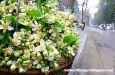 Hoa bưởi Diễn tháng 3 hương thơm ngây ngất lòng người