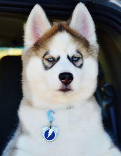 Zeus - Siberian Husky