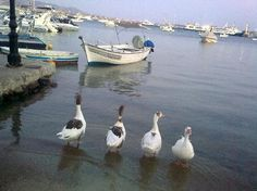 these ducks are my friends - they would walk me home at sunrise