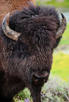 Google Image Result for http://www.kenrockwell.com/trips/2009-08-yellowstone/08/IMG_8032-bison.jpg