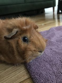 Do you guys like guinea pigs here?