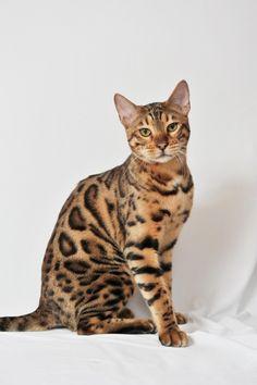 Bengal cat (71 photo) (25)