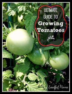 The Ultimate Guide to Growing Tomatoes! Got six hours of sunlight? Got some dirt and a pot? Then you can grow tomatoes! It is almost that simple. Follow my advice and you will have bumper crop of sweet, juicy, red orbs all summer long.  #gardening #organic #tomatoes #growyourown
