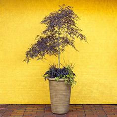 Go beyond annuals for the container garden...buy small trees & repot them in large containers for the deck or pergola.  After a few years of growth, plant them in the landscape...happy & healthy.  Win-Win.