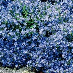 Trailing Bellflowers—Attracts Butterflies This drought-resistant ground cover is populated with beautiful lilacblue star-shaped flowers. Let it cascade down walls, hang from a planter or fill your rock garden. It will grow in almost any soil. Produ
