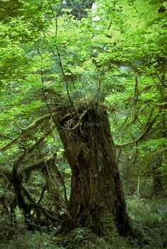 USA. Washington State. Olympic Peninsula temperate rain forest Half Drow, D D Characters, Olympic Peninsula, Washington State, Rain, America, Usa, Plants, Travel