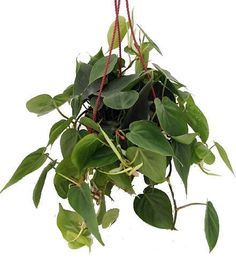 "Heart Leaf Philodendron - Easiest House Plant to Grow - 6"""" Hanging Basket"
