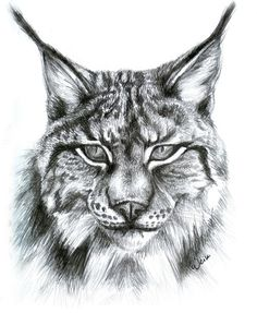 Lynx by Weiklink on DeviantArt Animal Sketches, Animal Drawings, Pencil Drawings, Art Sketches, Pencil Art, Drawing Animals, Big Cats Art, Cat Art, Caracal